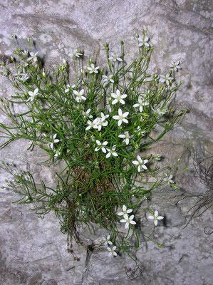 Steirische Nabelmiere (Moehringia bavarica)