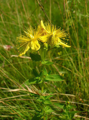 Flecken-Johanniskraut (Hypericum maculatum)