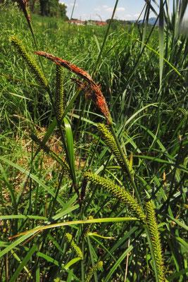 Sumpf-Segge (Carex acutiformis)
