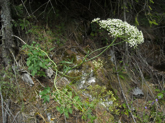 Breitblatt-Laserkraut (Laserpitium latifolium)