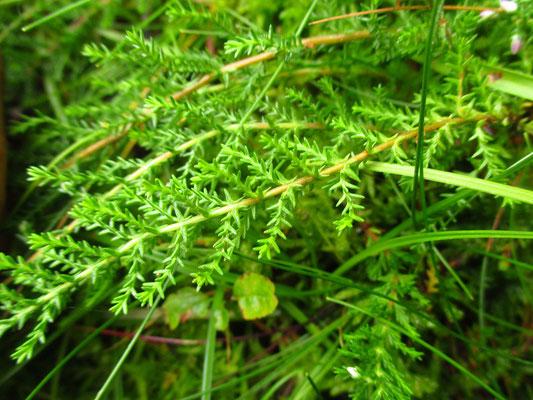 Besenheide (Calluna vulgaris)
