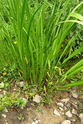 Gewöhnlicher Kalmus (Acorus calamus)
