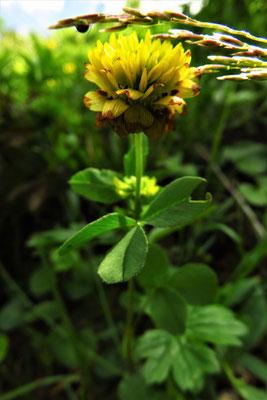 Braun-Klee (Trifolium badium) | Fam. Hülsenfrüchtler (Fabaceae)