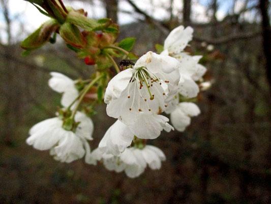 Vogel-Kirsche (Prunus avium subsp. avium)