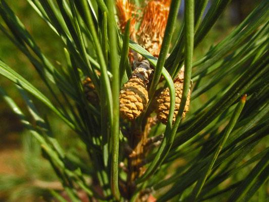 Rot-Föhre (Pinus sylvestris) | junge Zapfen