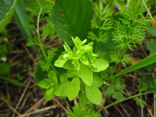 Garten-Wolfsmilch (Euphorbia peplus)