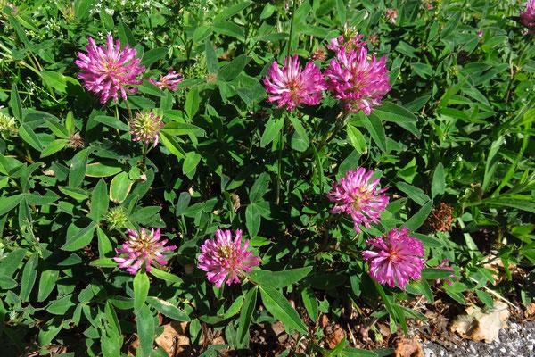 Zickzack-Klee (Trifolium medium) | Fam. Hülsenfrüchtler (Fabaceae)
