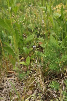 Hügel-Vergissmeinnicht (Myosotis ramosissima)