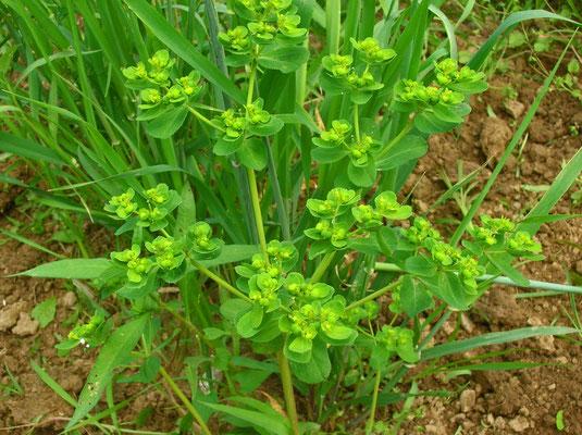 Sonnen-Wolfsmilch (Euphorbia helioscopia)