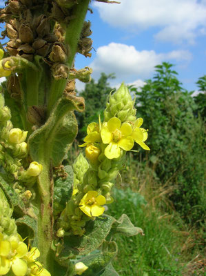 Kleinblüten-Königskerze (Verbascum thapsus)