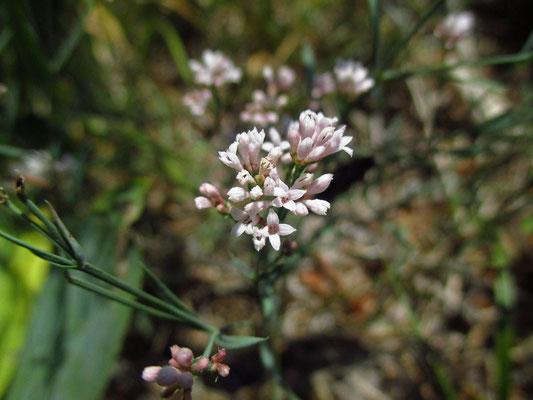 Hügel-Meier (Asperula cynachica)