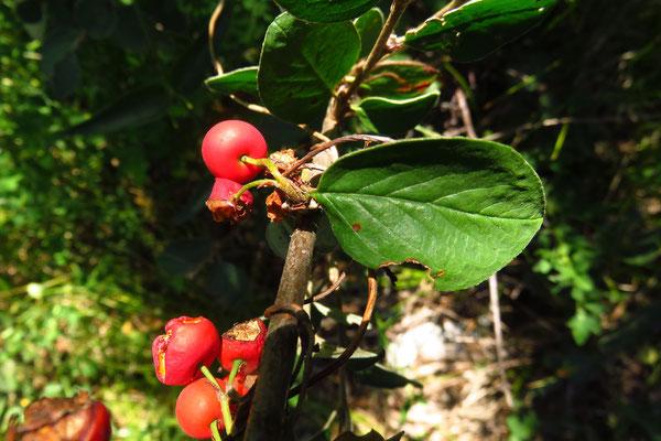 Gewöhnliche Steinmispel (Cotoneaster integerrimus)