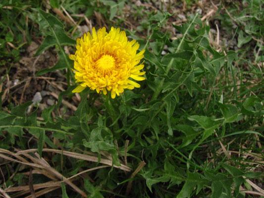 Wiesen-Löwenzahn (Taraxacum officinale agg.)