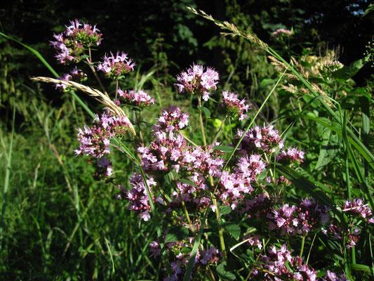 Echter Dost (Origanum vulgare)