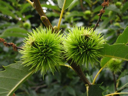 Edelkastanie (Castanea sativa)   Früchte