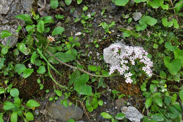 Berg-Baldrian (Valeriana montana) | Fam. Baldriangewächse (Valerianaceae)