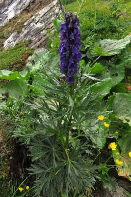 Tauern-Eisenhut (Aconitum tauricum) | Fam. Hahnenfußgewächse (Ranunculaceae)