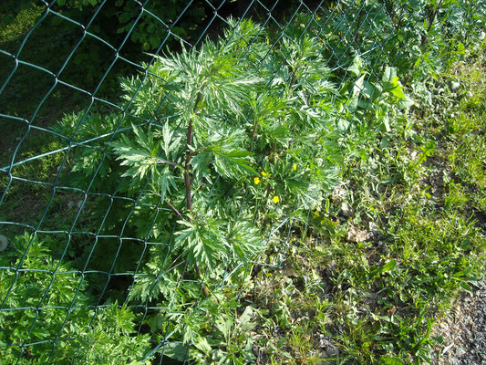 Echter Beifuß (Artemisia vulgaris)