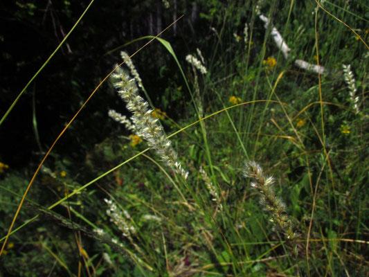 Wimper-Perlgras (Melica ciliata)