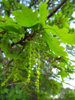 Stiel-Eiche (Quercus robur)   männliche Blüten