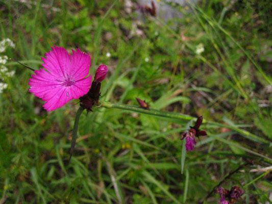 Kartäuser-Nelke (Dianthus carthusianorum agg.)