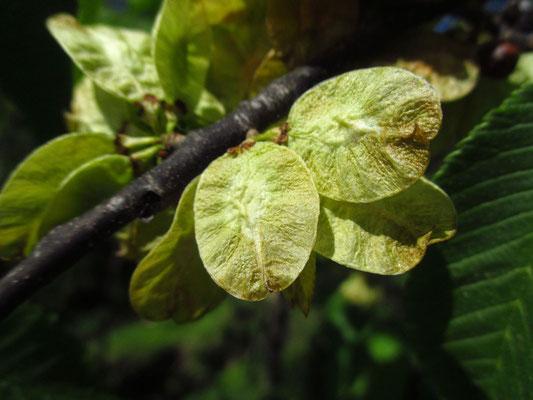 Berg-Ulme (Ulmus glabra) | Früchte