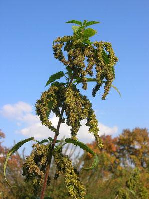 Große Brennnessel (Urtica dioica) | weibliche Pflanze