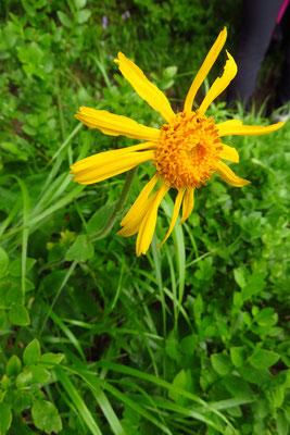 Arnika (Arnica montana) | Fam. Korbblütler (Asteraceae)