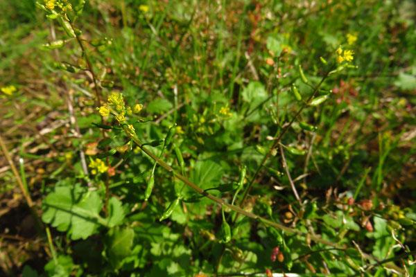 Gewöhnliche Sumpfkresse (Rorippa palustris)