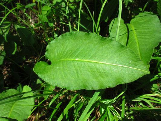 Schlangen-Knöterich (Persicaria bistorta)