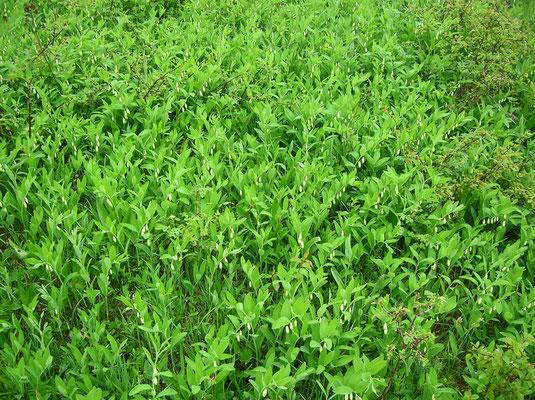Duft-Weißwurz (Polygonatum odoratum)