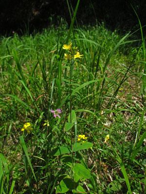 Berg-Johanniskraut (Hypericum montanum)