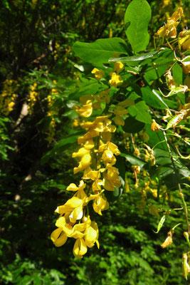 Südalpen-Goldregen (Laburnum alpinum)