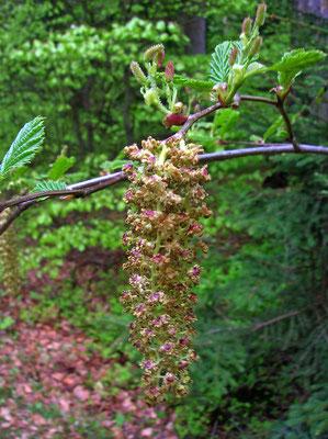 Grün-Erle (Alnus alnobetula) | weibliche u. männliche Blüten