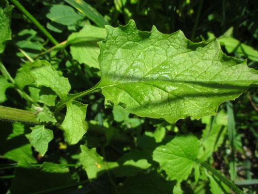 Rainkohl (Lapsana communis)