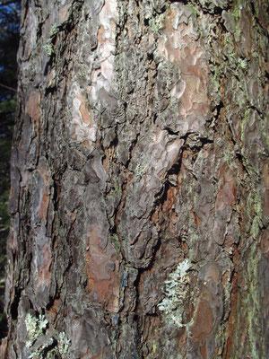 Rot-Föhre (Pinus sylvestris) | Borke