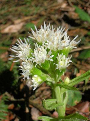 Weiße Pestwurz (Petasites albus) | männliche Pflanze