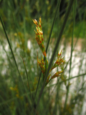 Grau-Simse (Juncus inflexus)