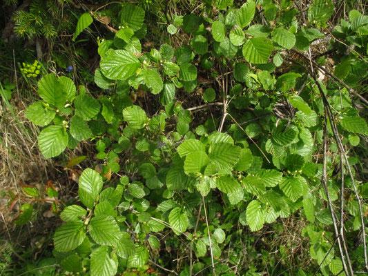 Grün-Erle (Alnus alnobetula)