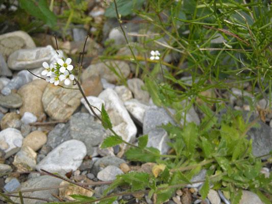 Alpen-Gänsekresse (Arabis alpina)