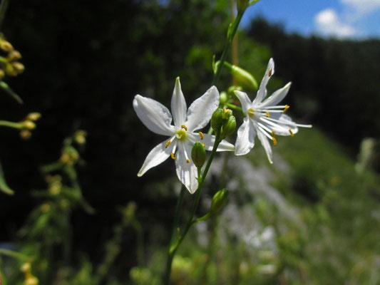 Rispen-Graslilie (Anthericum ramosum)