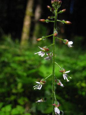 Wald-Hexenkraut (Circaea lutetiana)