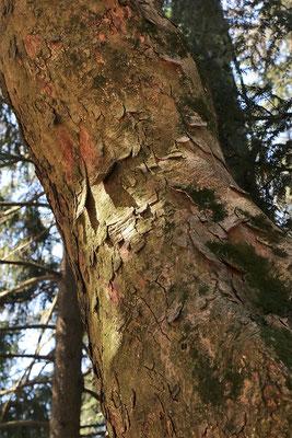 Berg-Ahorn (Acer pseudoplatanus) | Borke