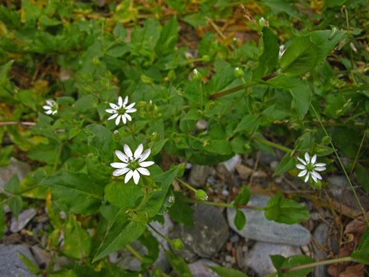 Wasser-Sternmiere (Stellaria aquatica)