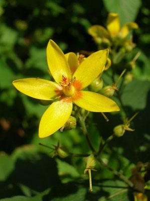 Gewöhnlicher Gilbweiderich (Lysimachia vulgaris)