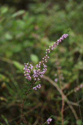 Besenheide (Calluna vulgaris) | Fam. Heidegewächse