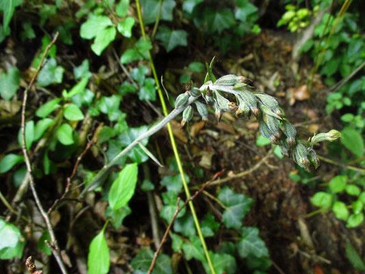 Kleinblatt-Ständelwurz (Epipactis microphylla)