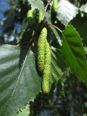Hänge-Birke (Betula pendula) | junge Fruchtstände