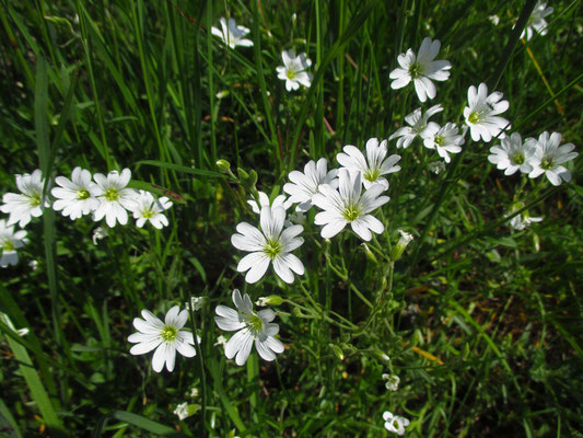 Acker-Hornkraut (Cerastium arvense)