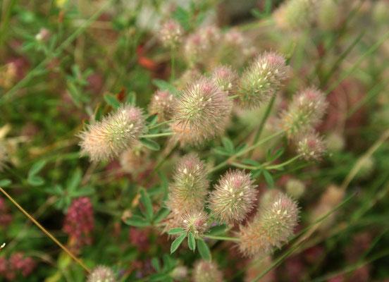 Hasen-Klee (Trifolium arvense)